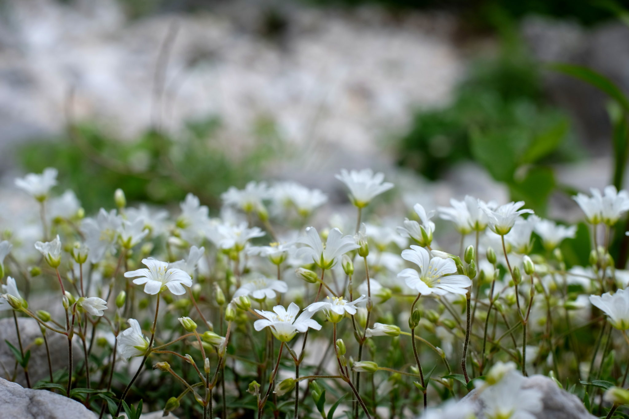 Pretty white flowers growing scarcely in the dry mountaing torrent Krvavec.