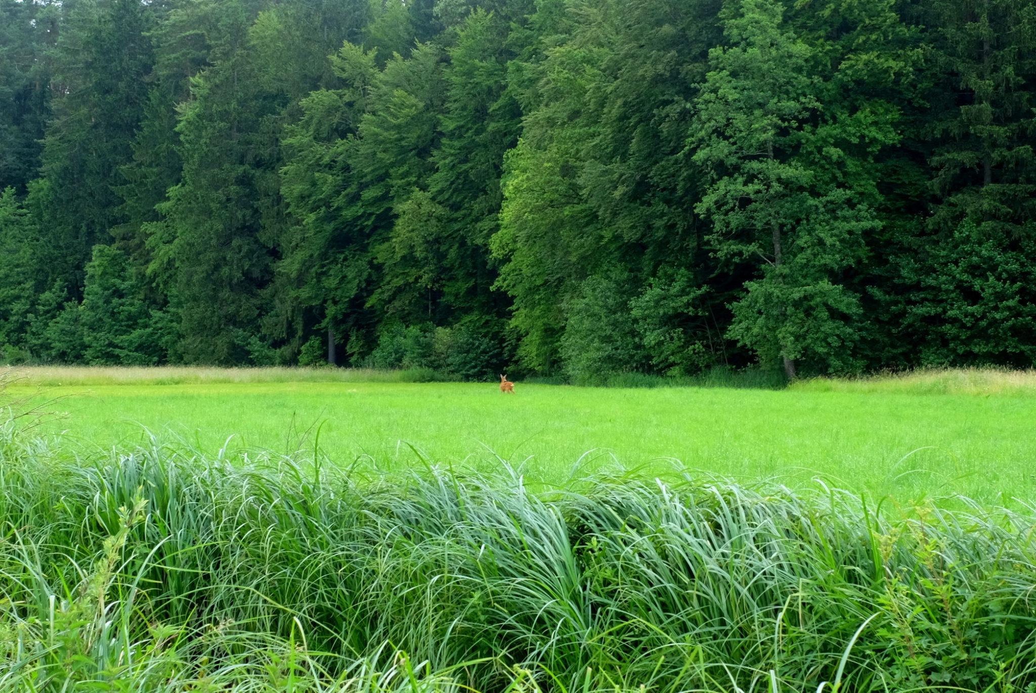 The first deer lurking from high grass.