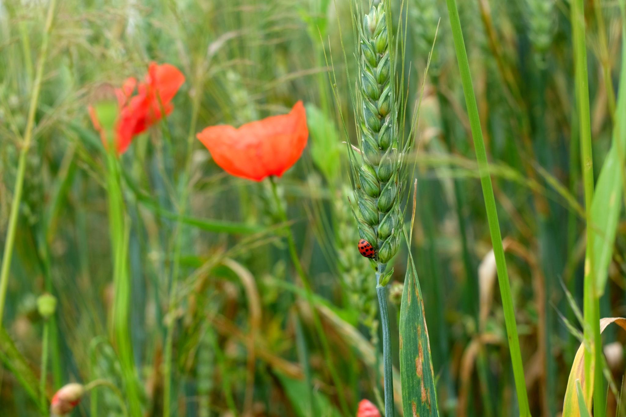 A ladybug hidden among red flowers.