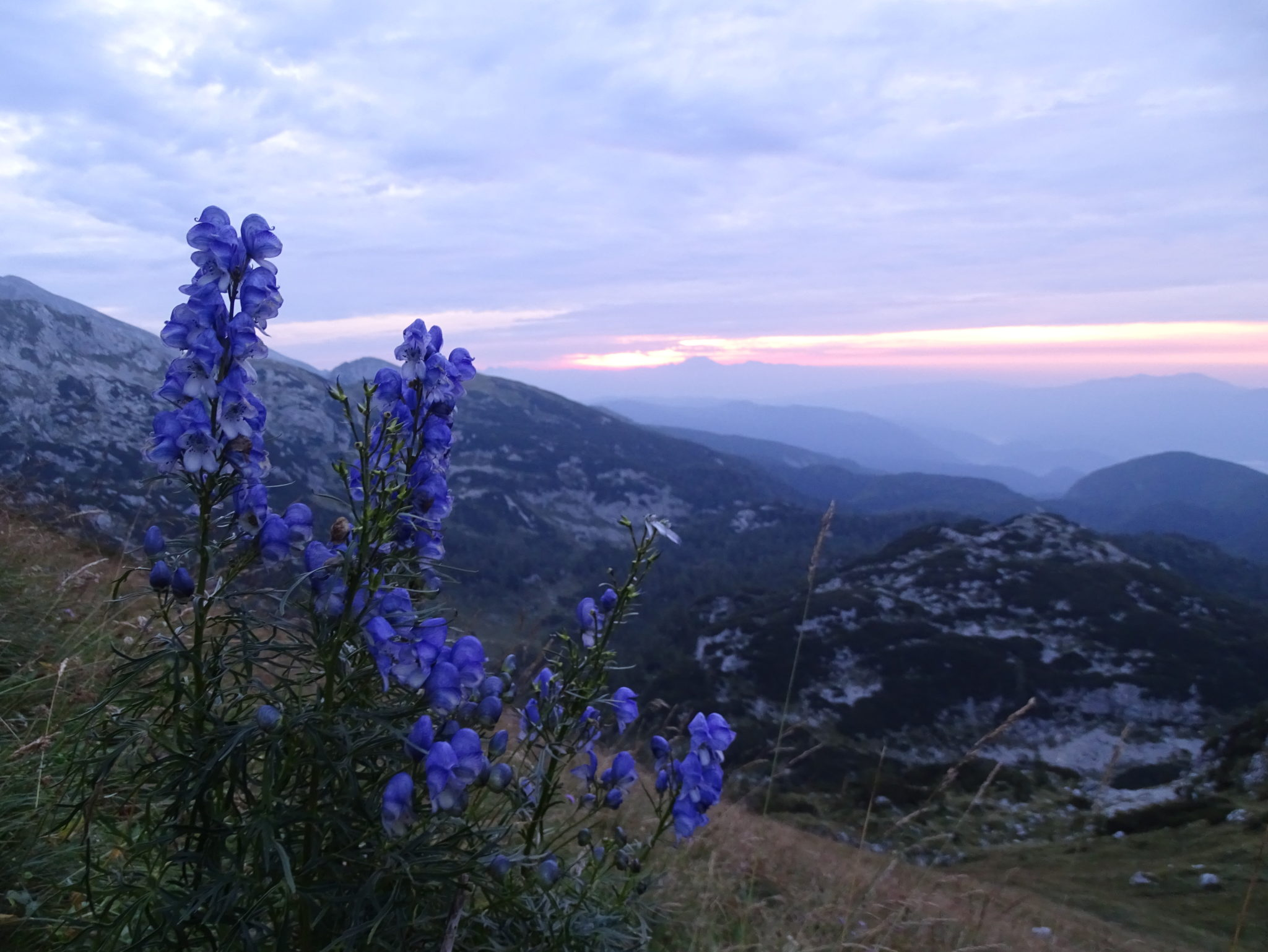Beautiful blue flowers on the way to Mala Tičarica