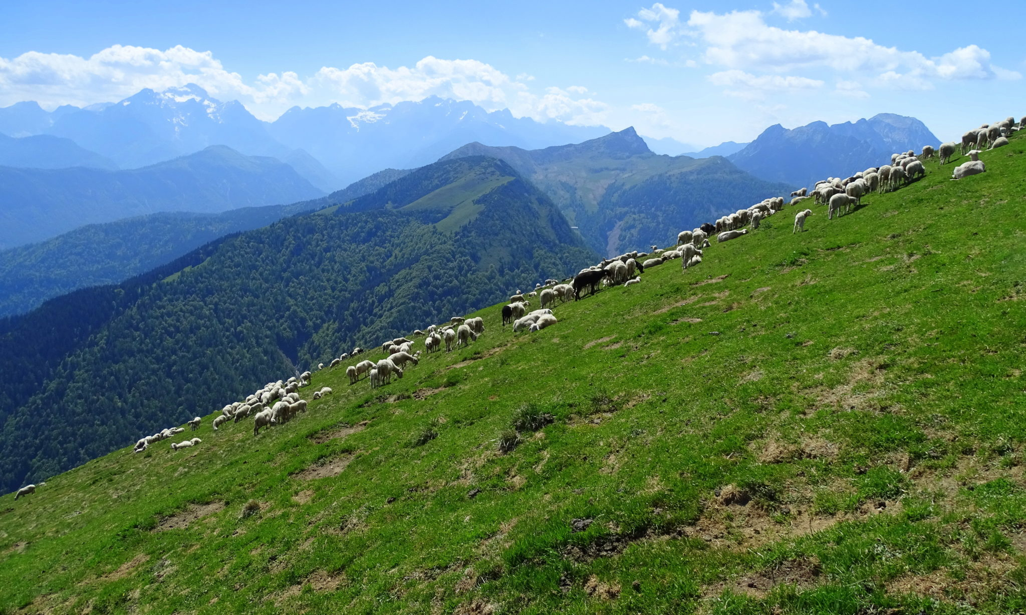 Carefree sheep grazing on soft grass in the mountains; Golica, Slovenia