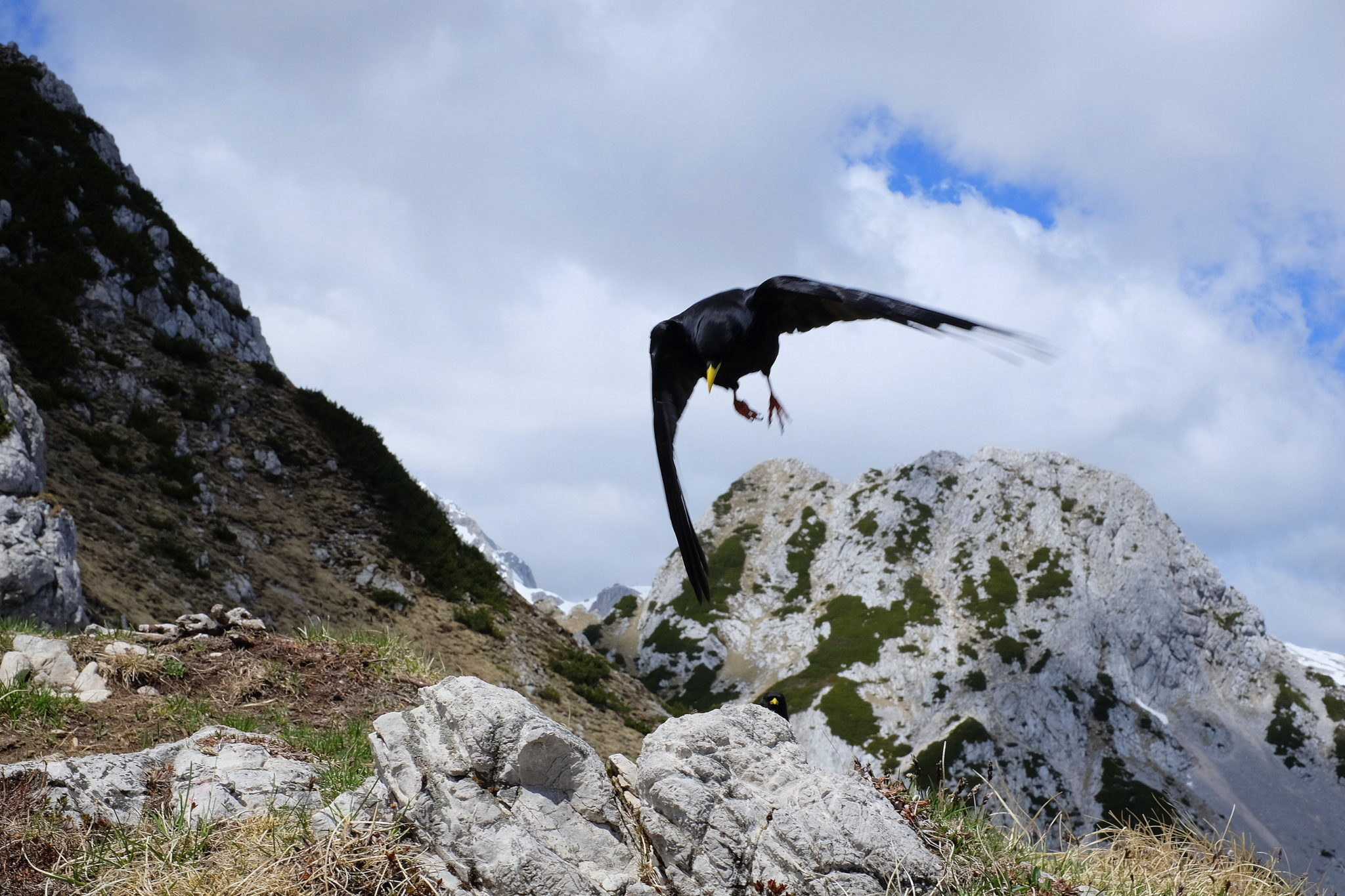 Alpine chough in the mountains
