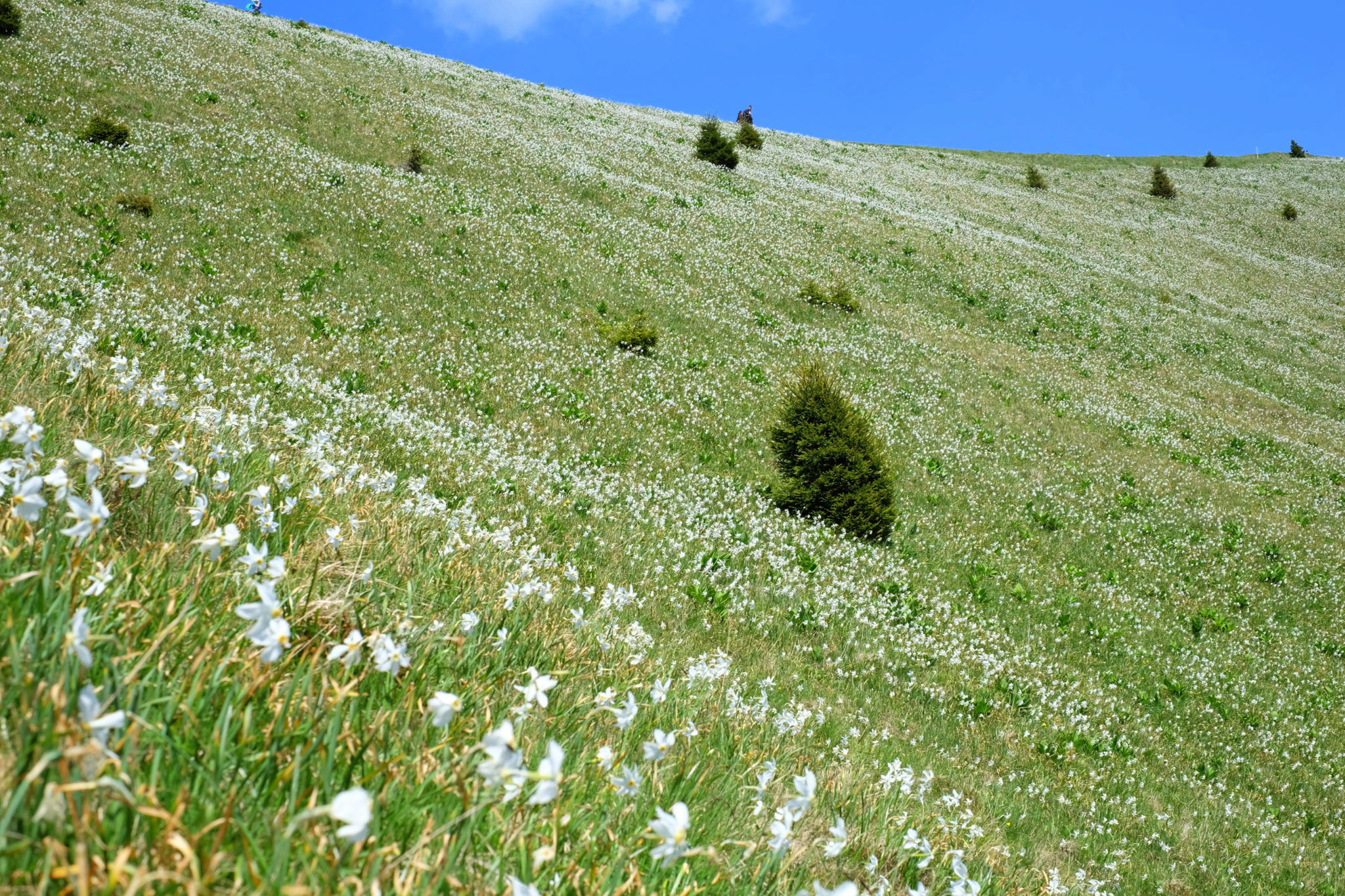 Endless fields of daffodils in the mountains; Golica, Slovenia, narcissi, narcise