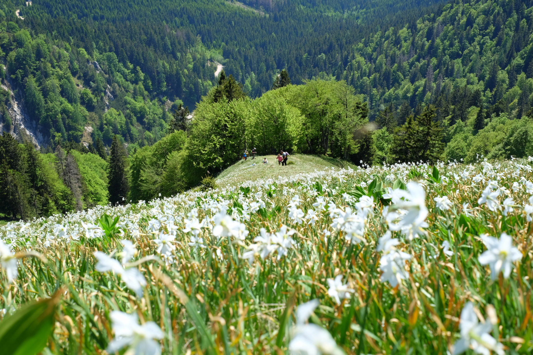 Daffodils in the mountains; Golica, Slovenia