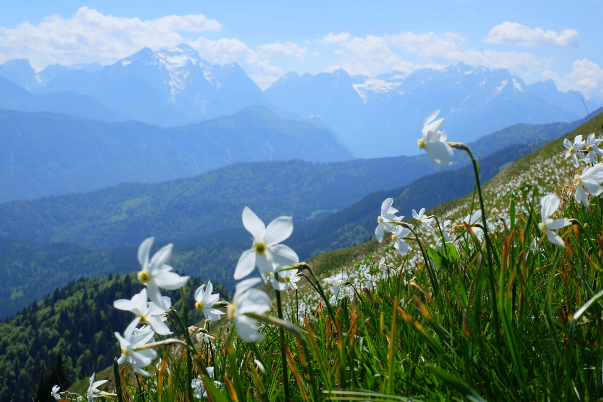 Daffodils on Golica and view of Triglav and Julian Alps