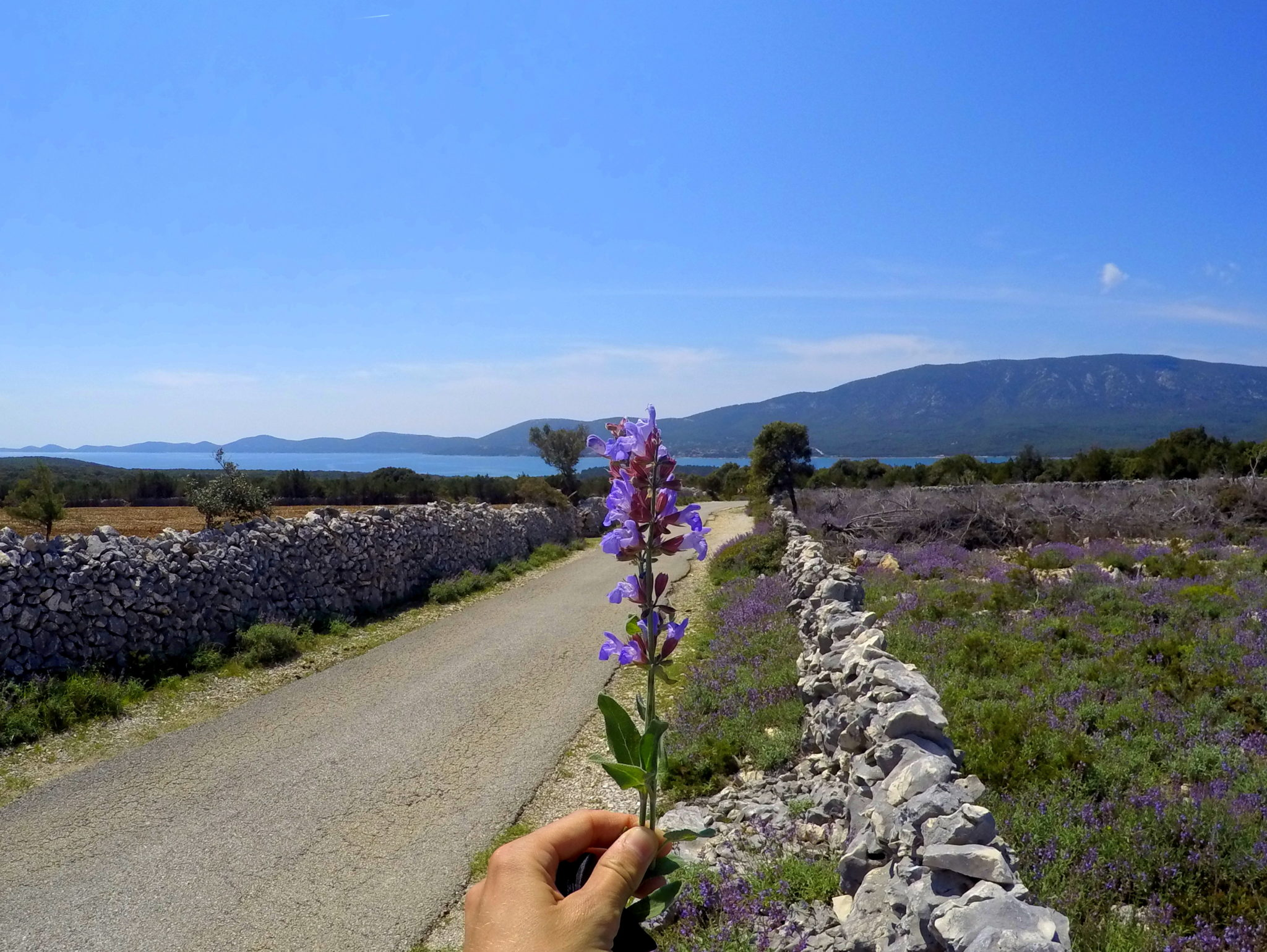 Punta Križa in bloom, sage flowering on Lošinj
