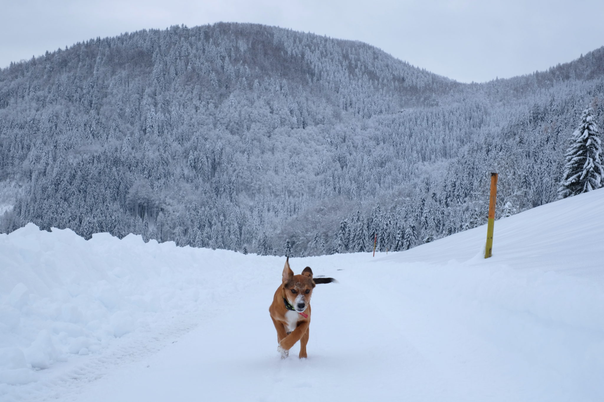 A puppy having fun in the mountains, Slovenia, Škofja Loka