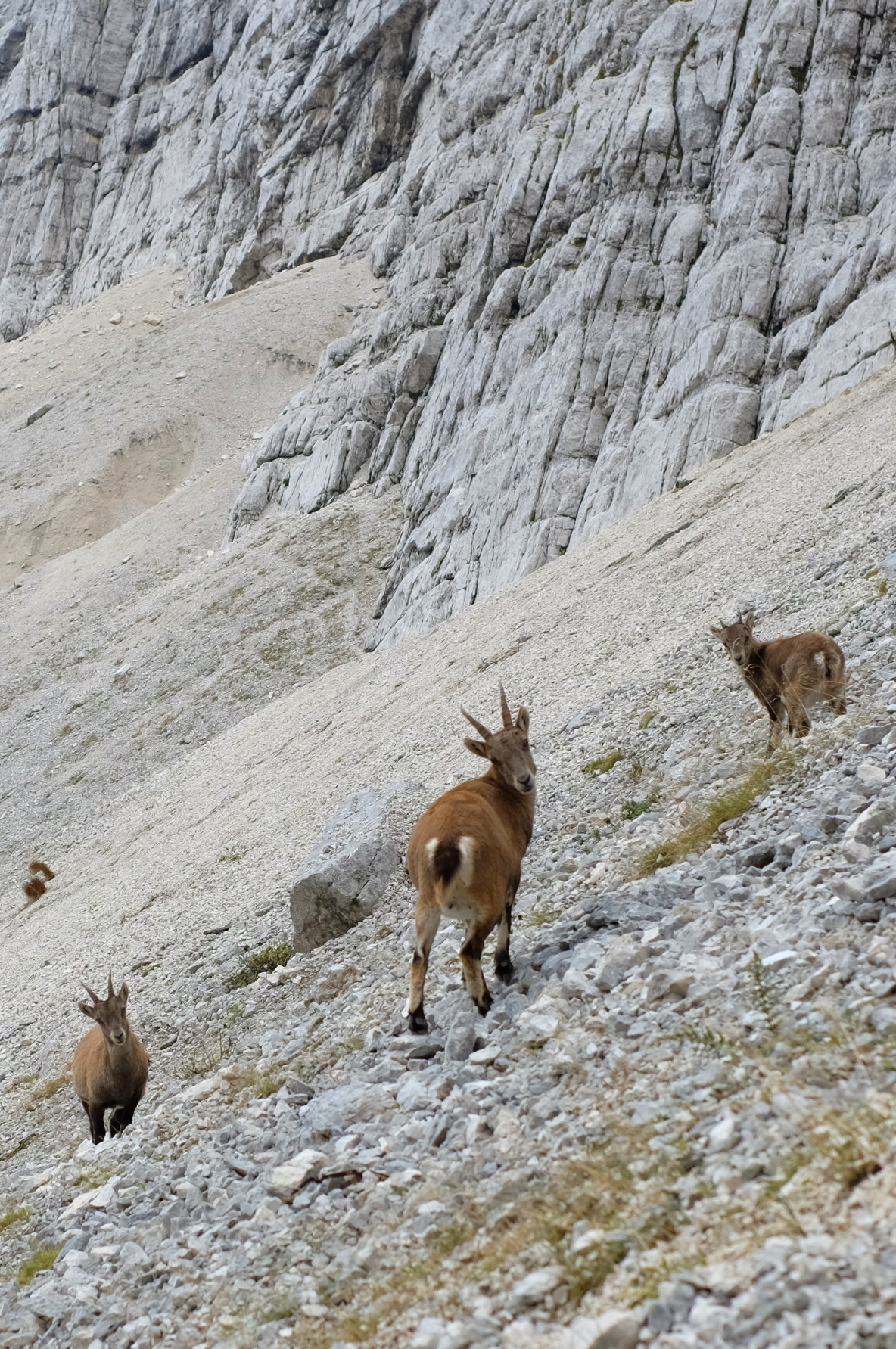 Chamois in Julian Alps, Slovenia