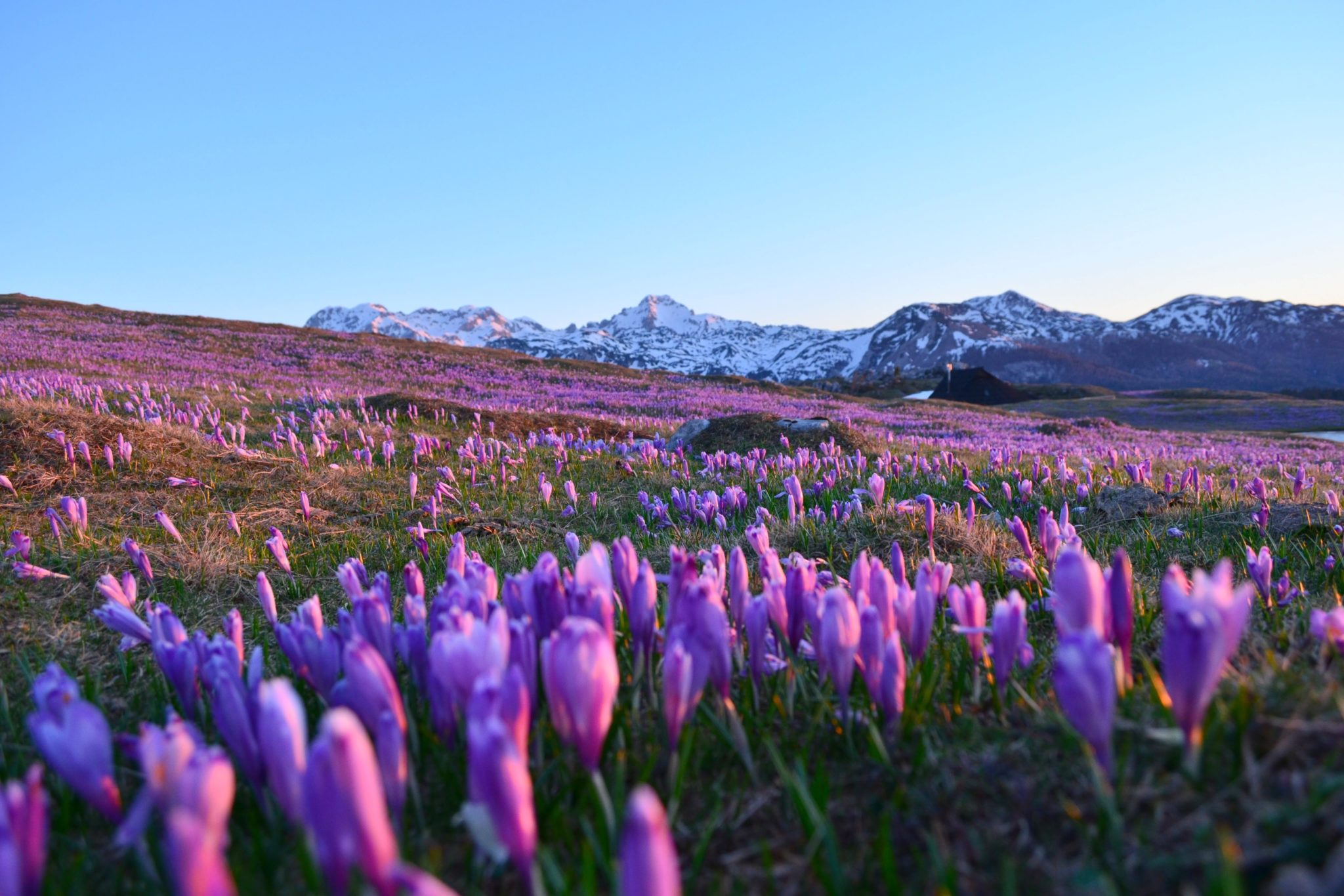 Purple crocuses on Velika Planina, Central Slovenia
