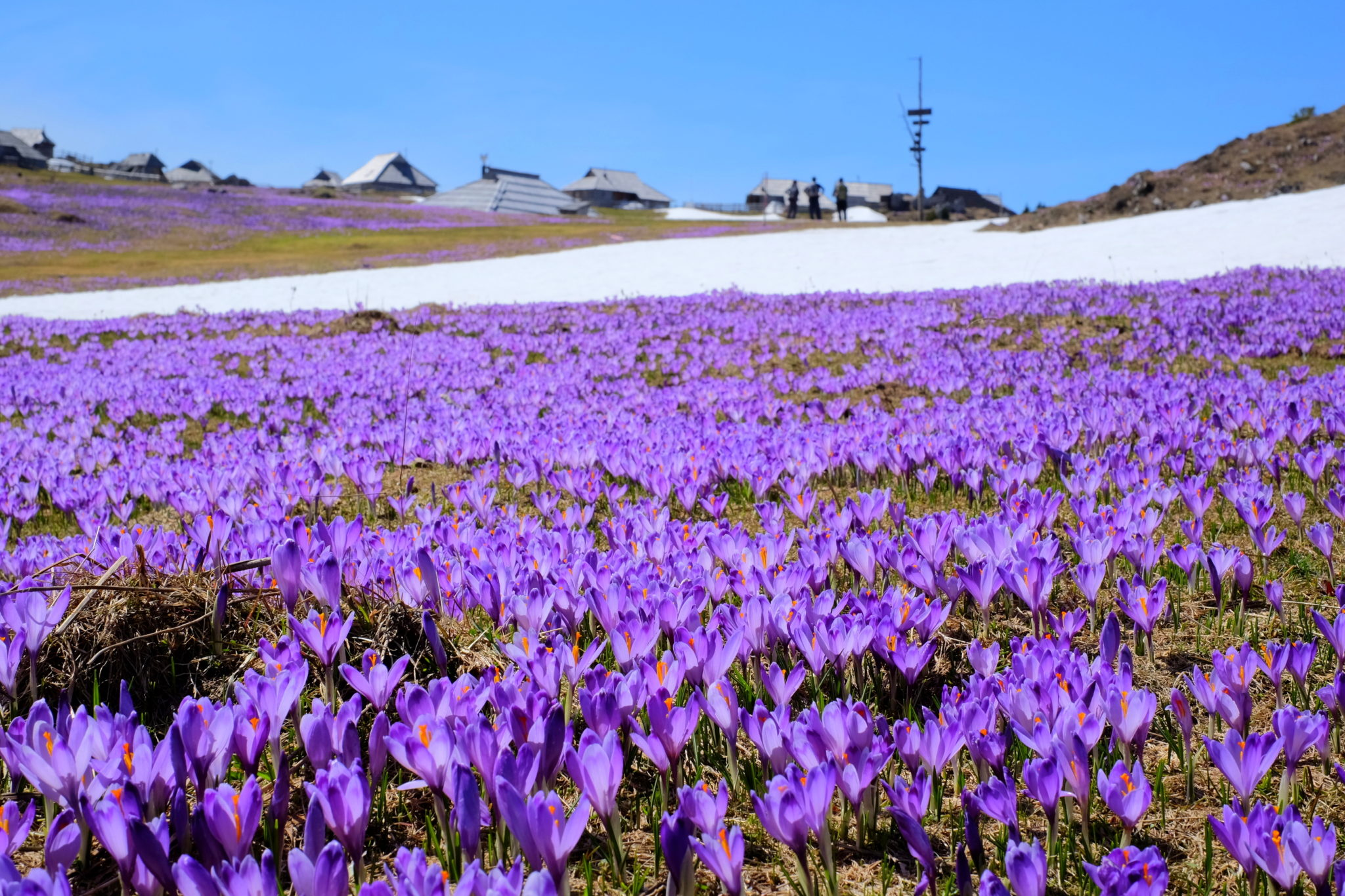 Long carpets of crocuses on Velika Planina