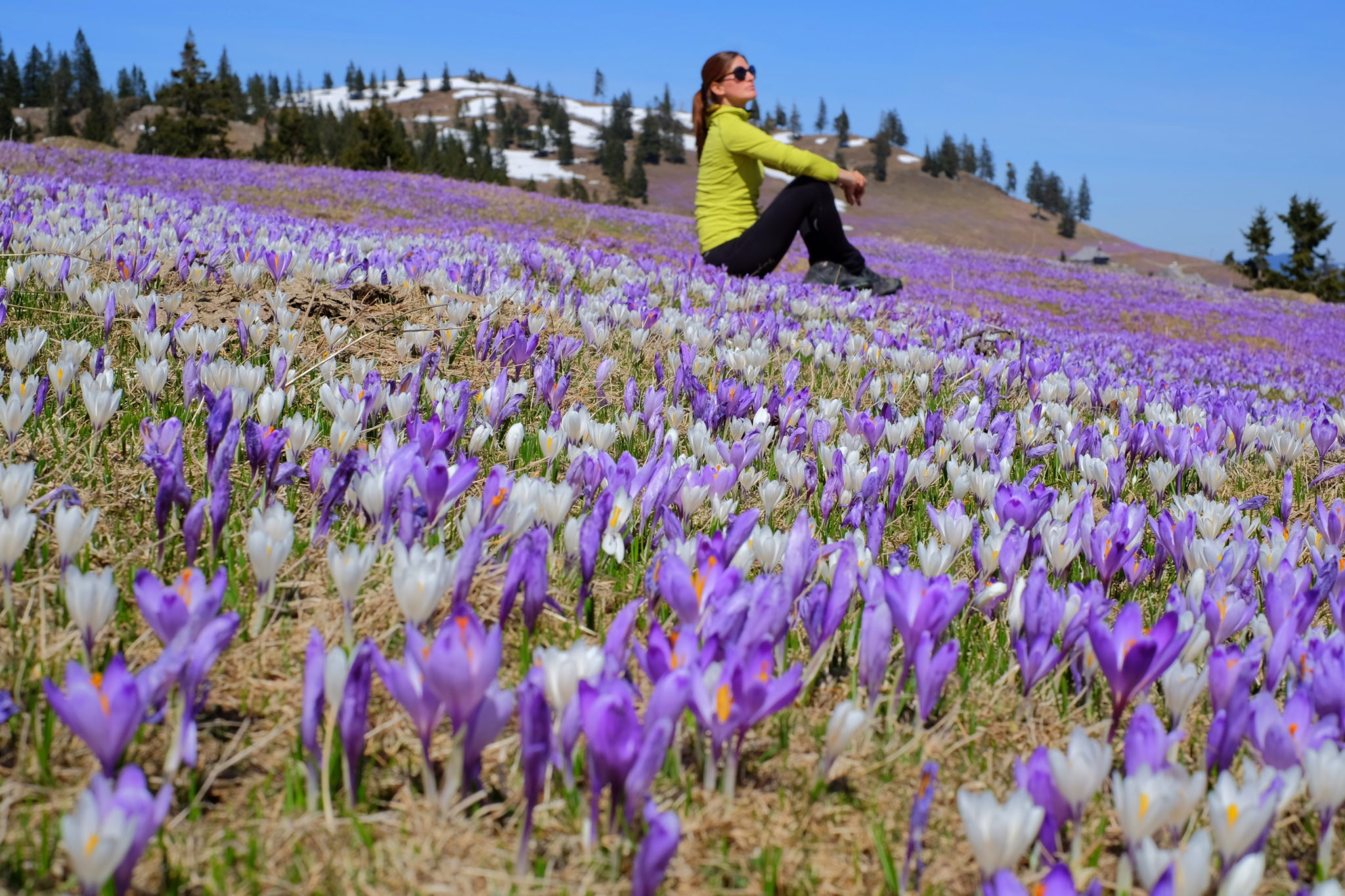 Carpets of crocuses on Velika Planina