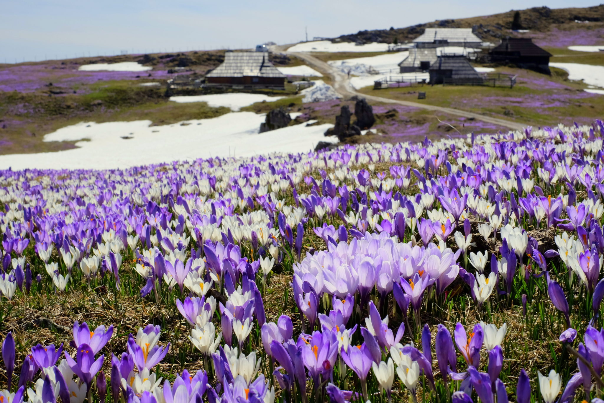 Crocuses on Mala Planina