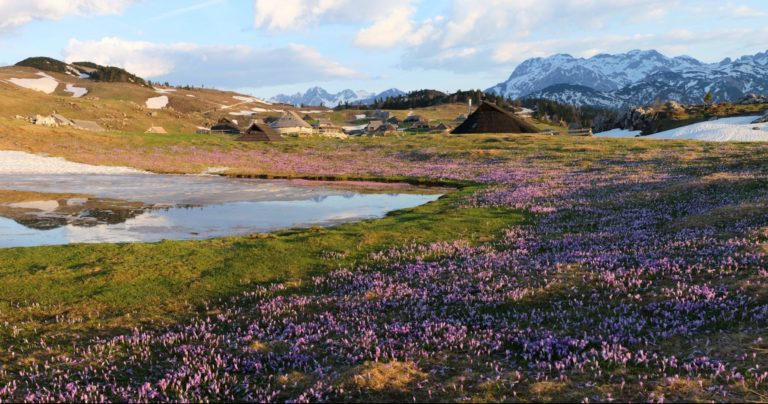Crocuses on Velika Planina for sunrise
