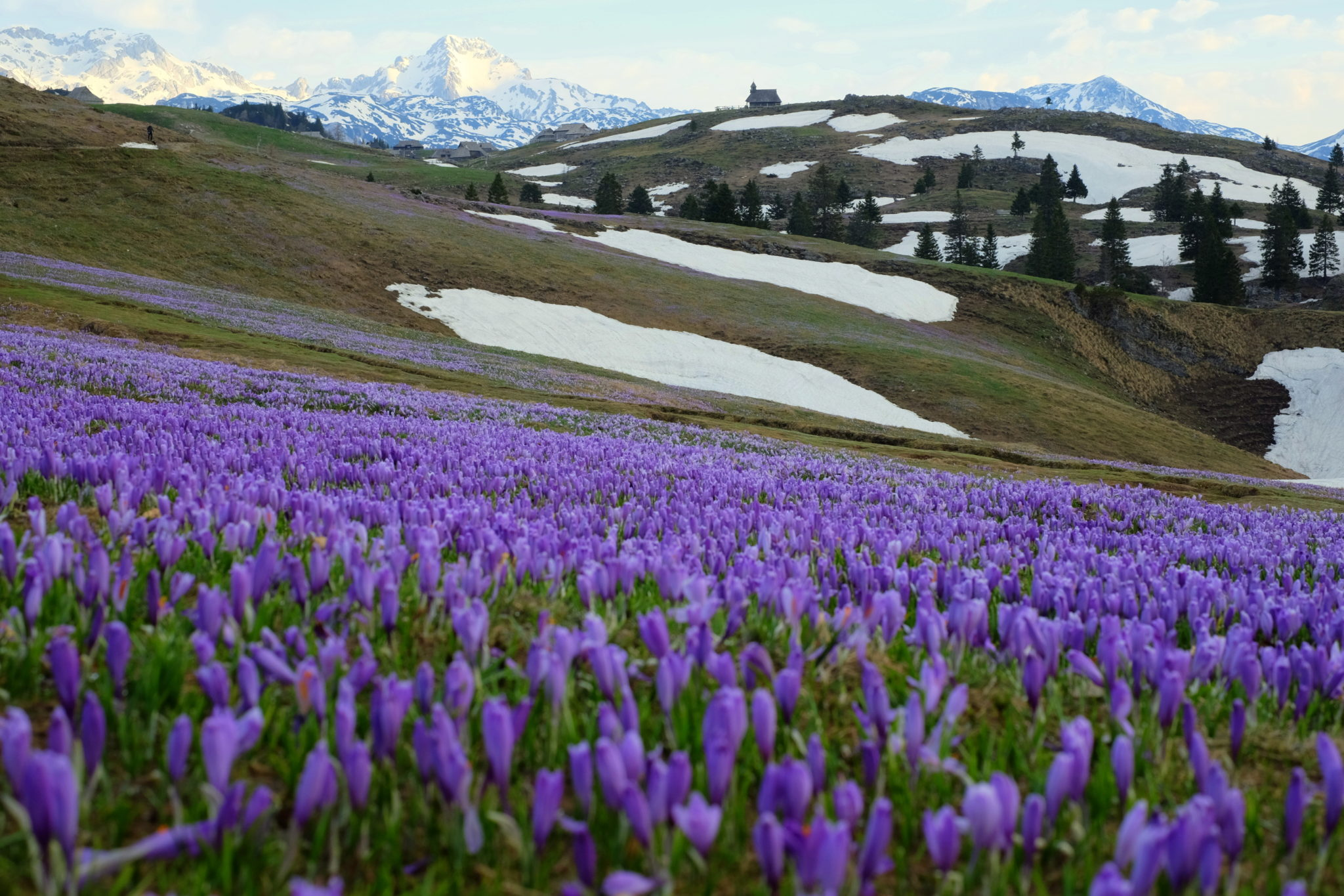 Velika Planina in spring, crocuses, Central Slovenia