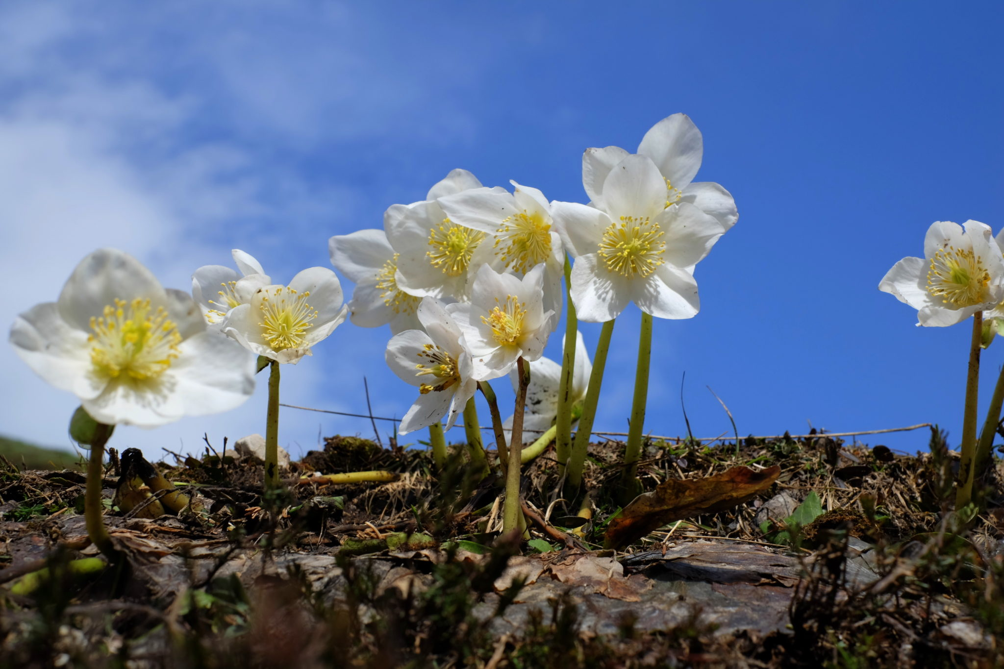 Blooming hellebores in the mountains, Slovenia, the Karawanks