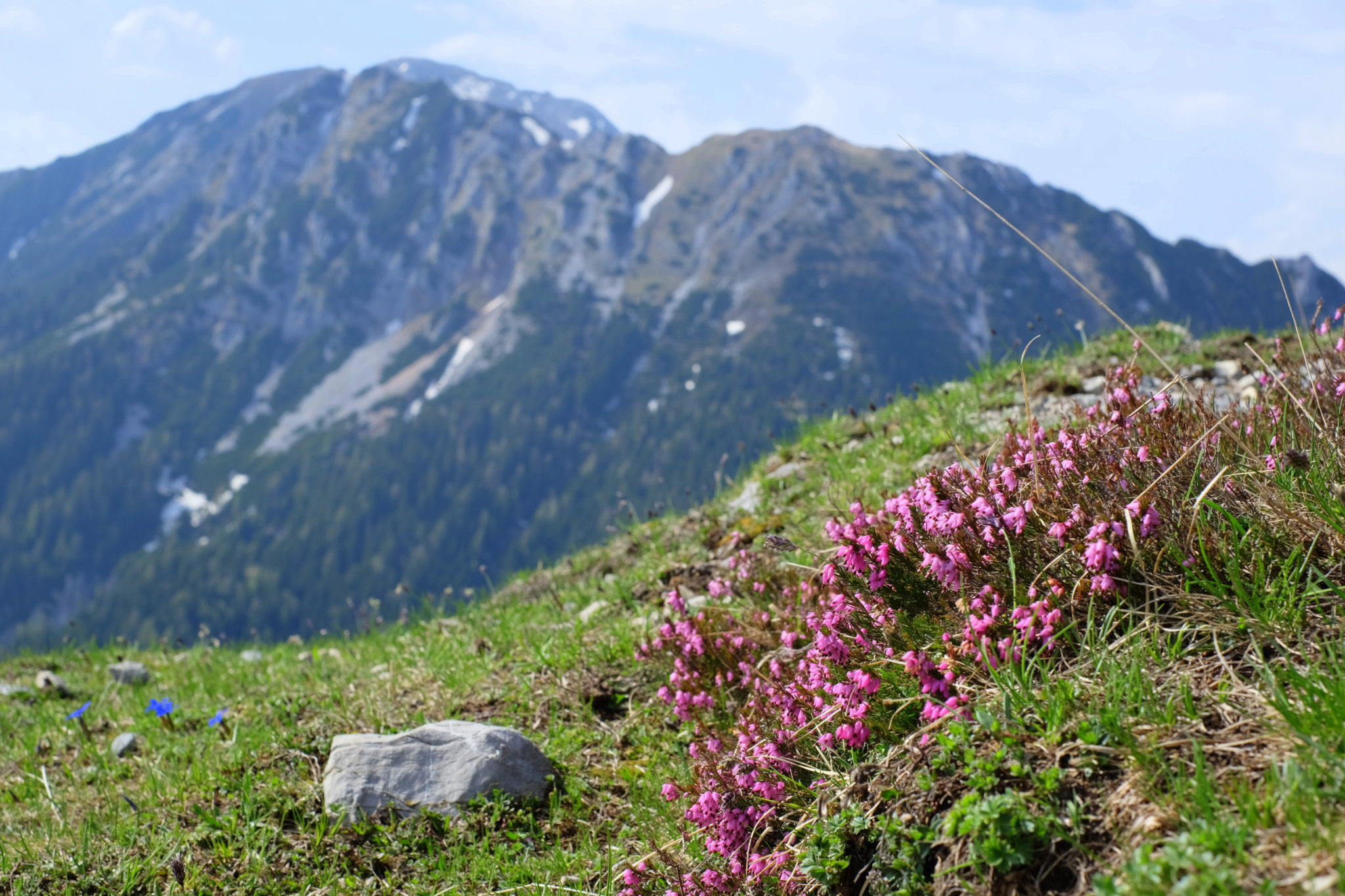 Flowering heather in the Karawanks mountains, Slovenia