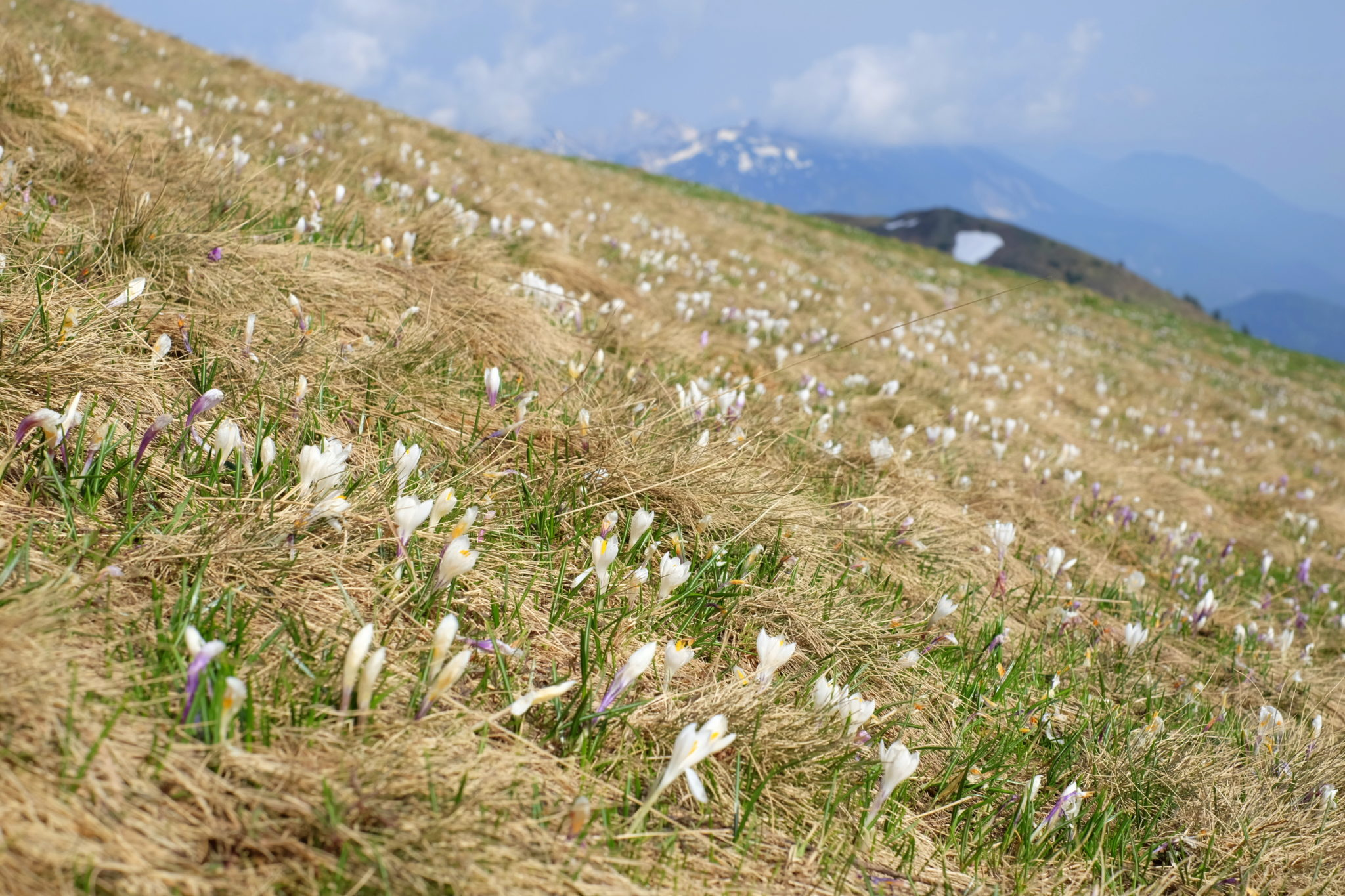 Blooming crocuses on the southern slopes of Dovška Baba, Slovenia, the Karawanks mountains