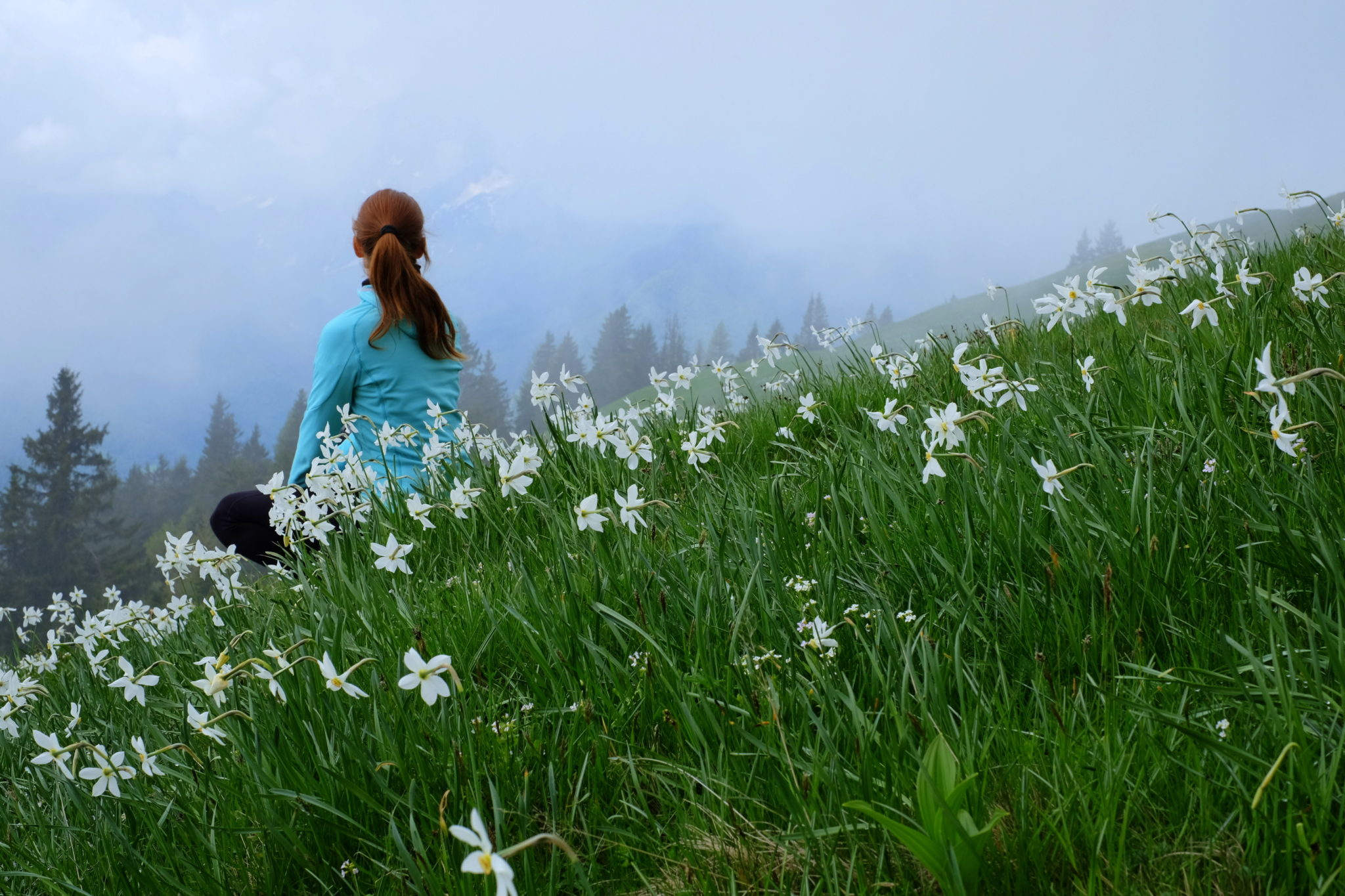 Wild daffodils in the Slovenian Alps, the Karawanks, Dovška Rožca