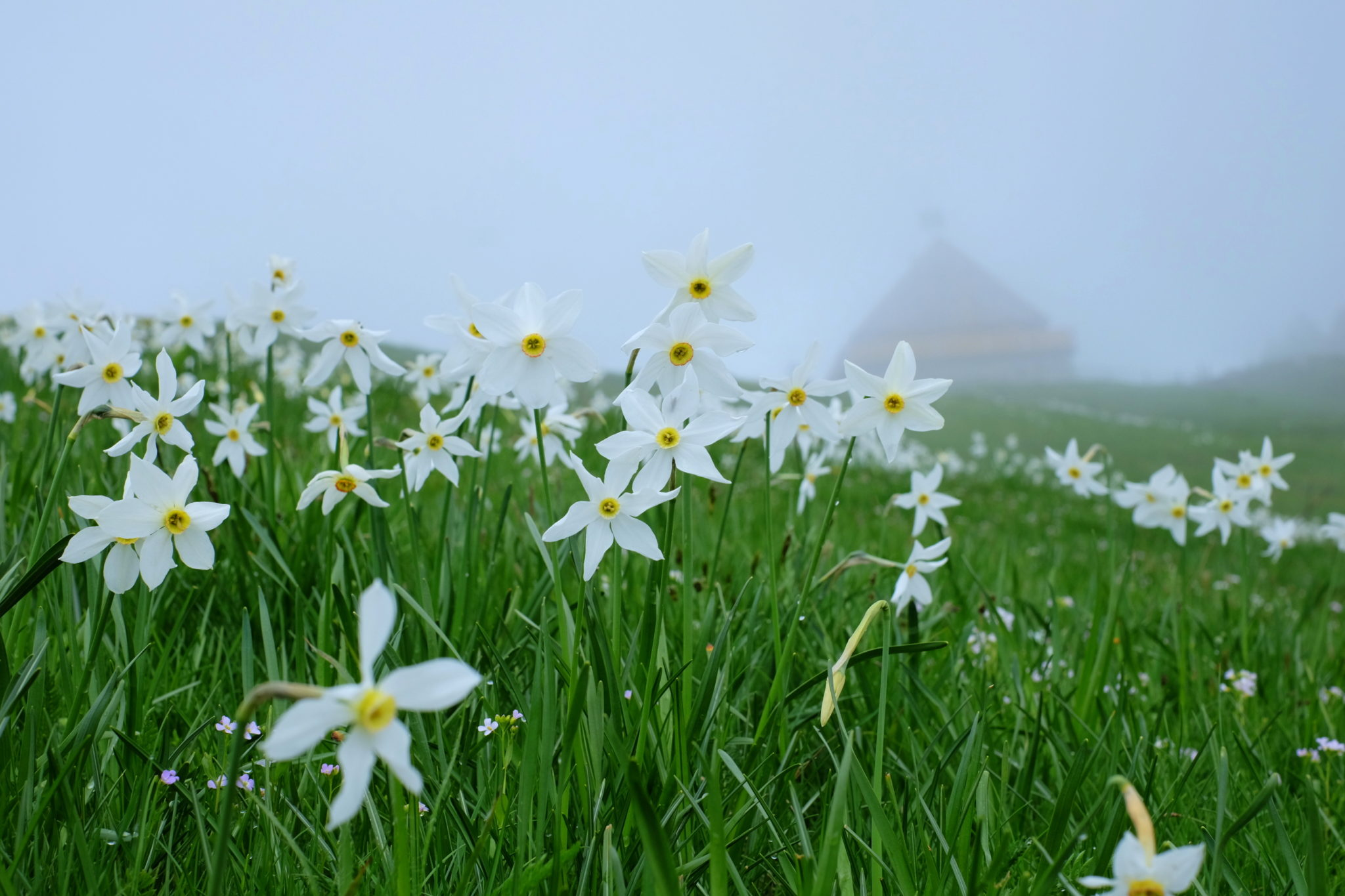 Daffodils on the Dovška Rožca Plateau, Slovenia, the Karawanks