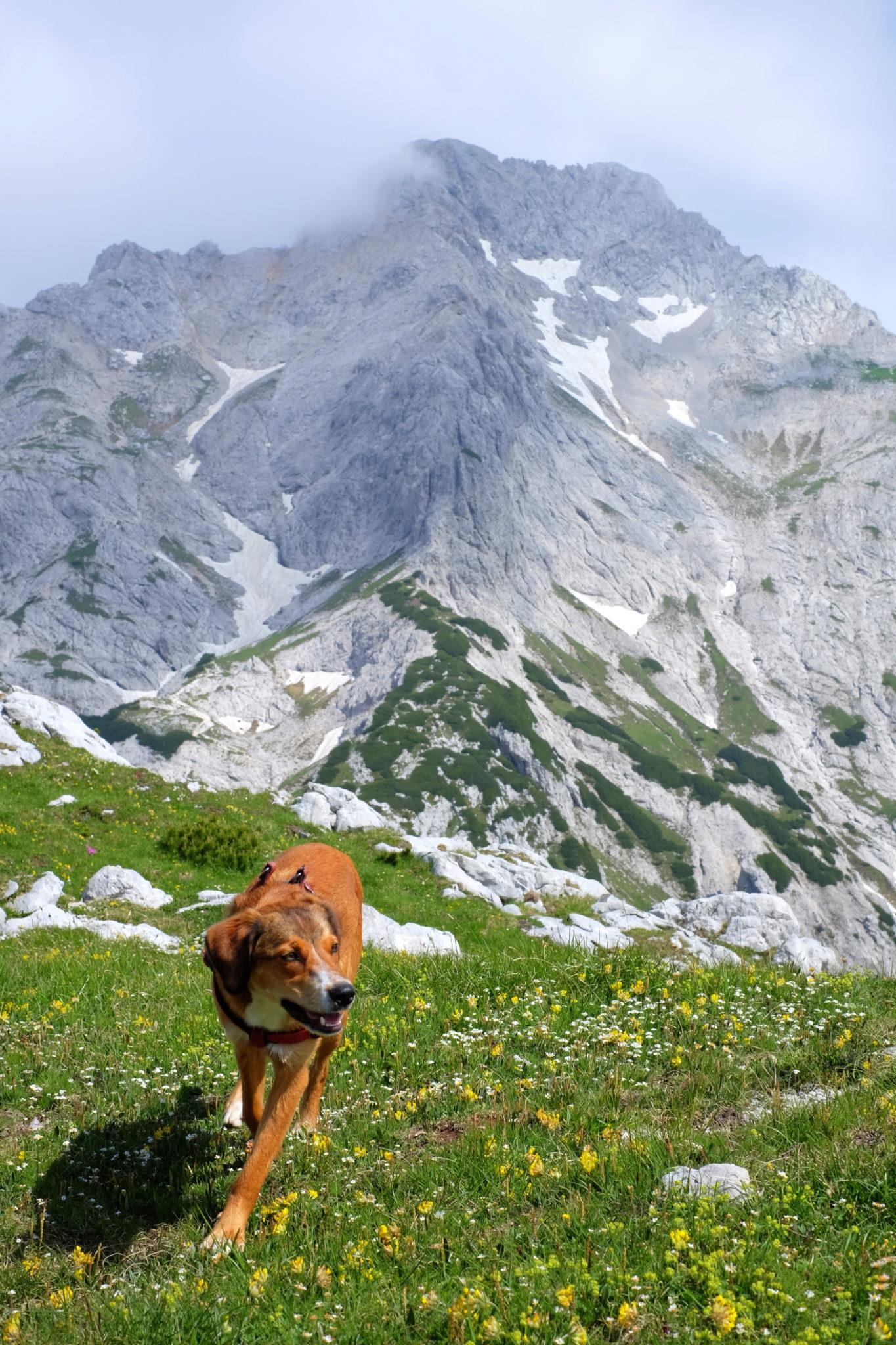 A dog hiking Lučki Dedec, the Kamnik-Savinja Alps, Slovenia