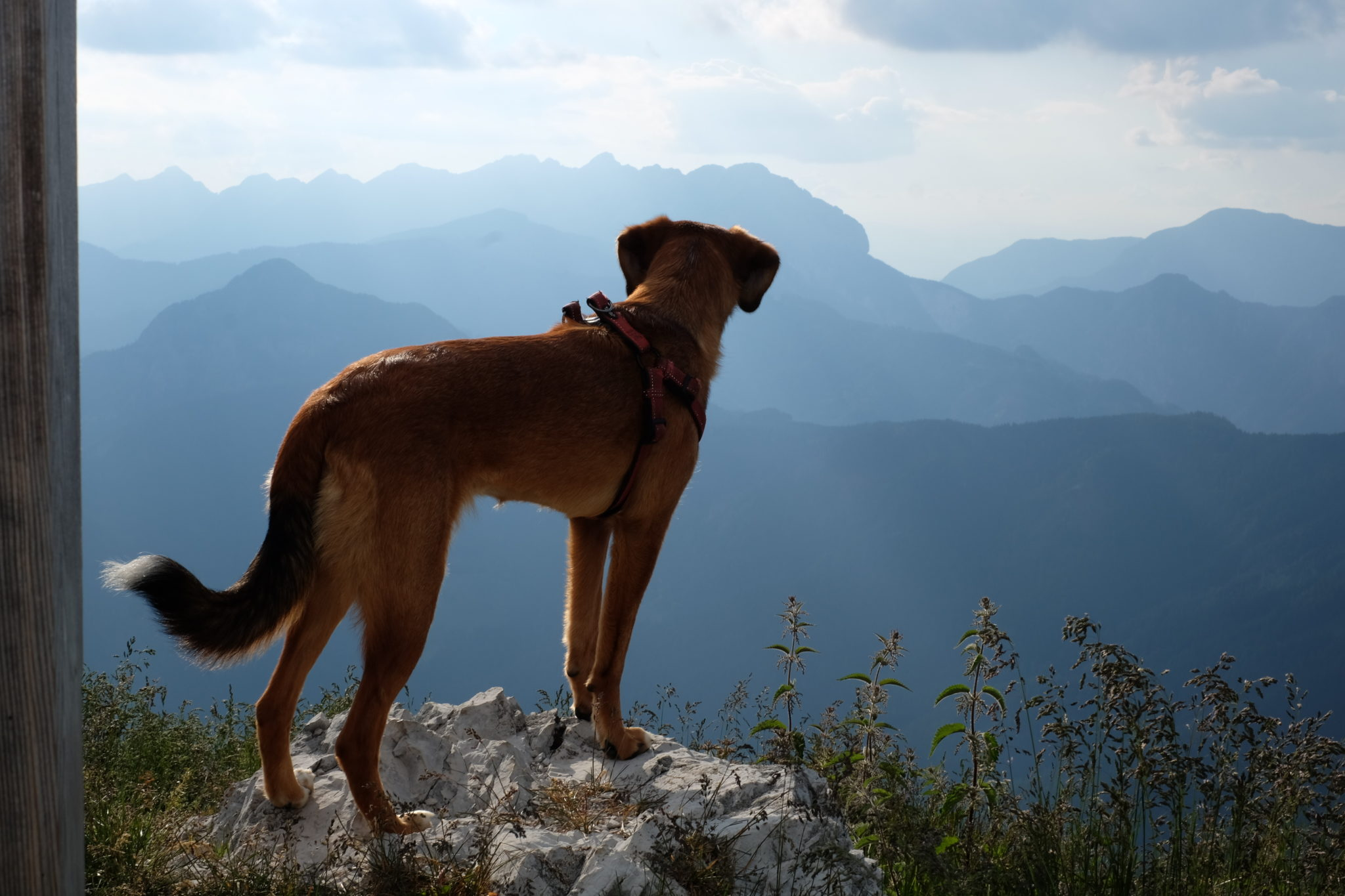 A dog hiking Goli Vrh, the Kamnik-Savinja Alps, Slovenia