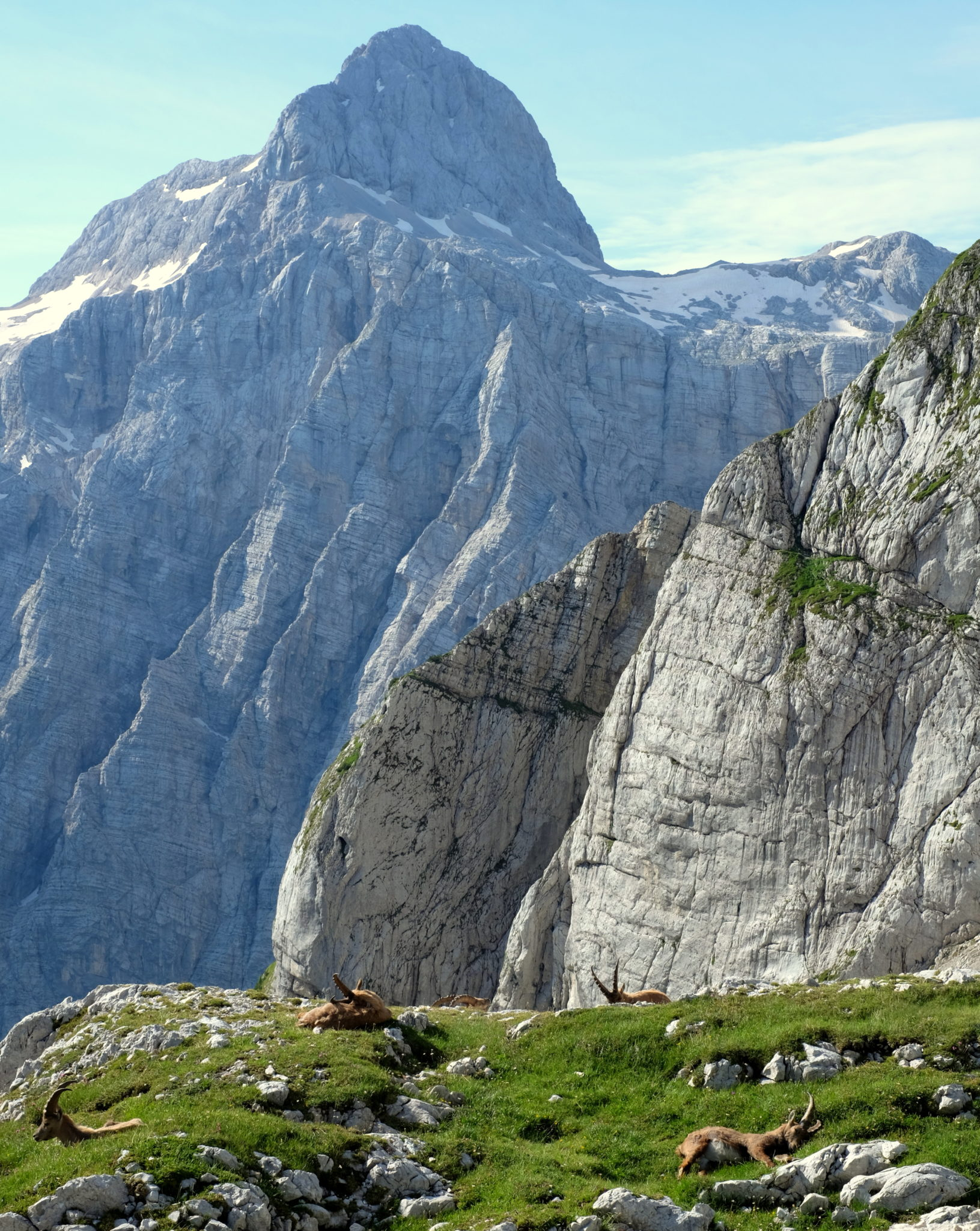 Alpine ibexes lying in grass with Triglav in the back, Julian Alps, Slovenia