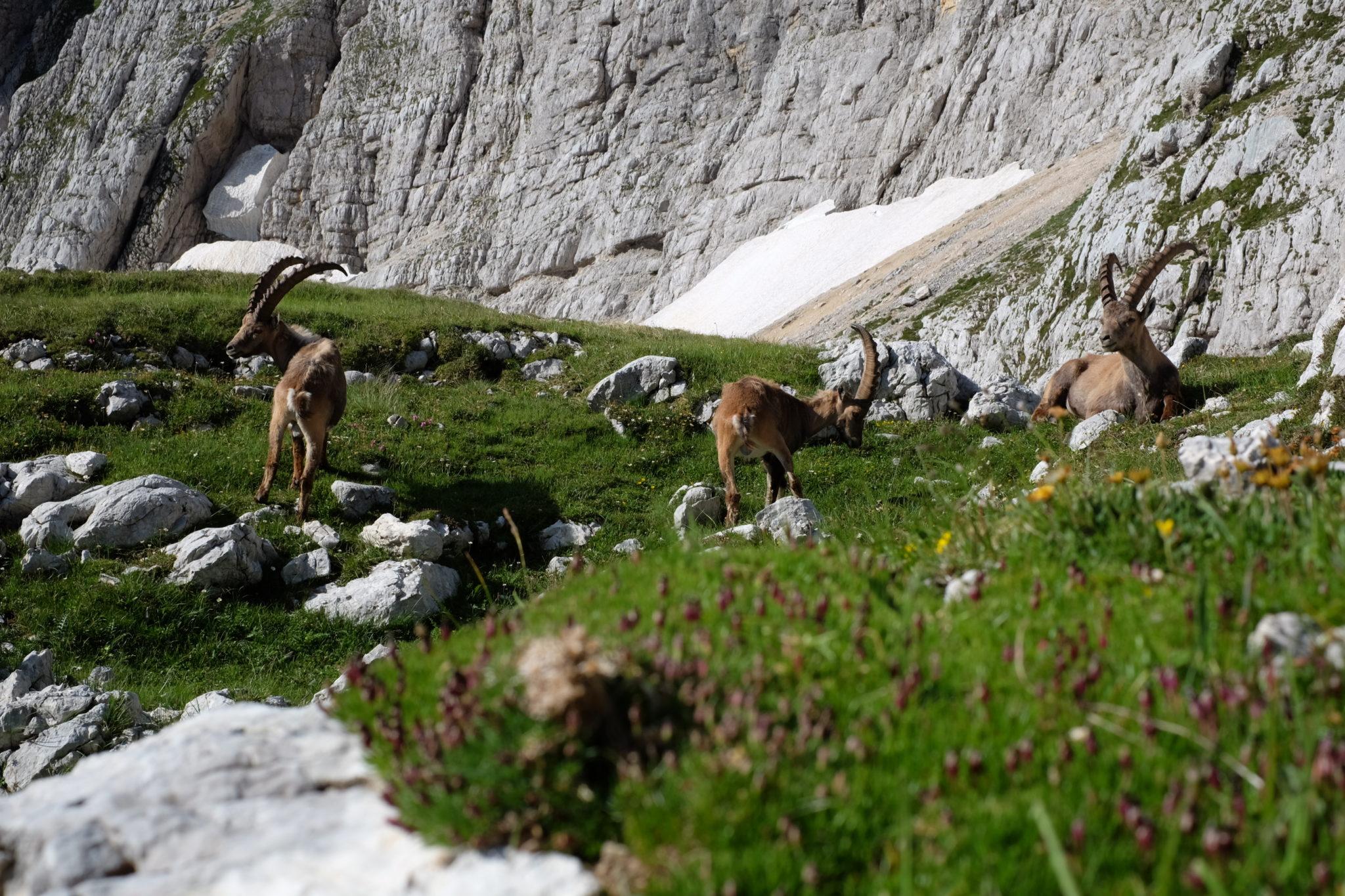 Alpine ibexes, Julian Alps, Slovenia