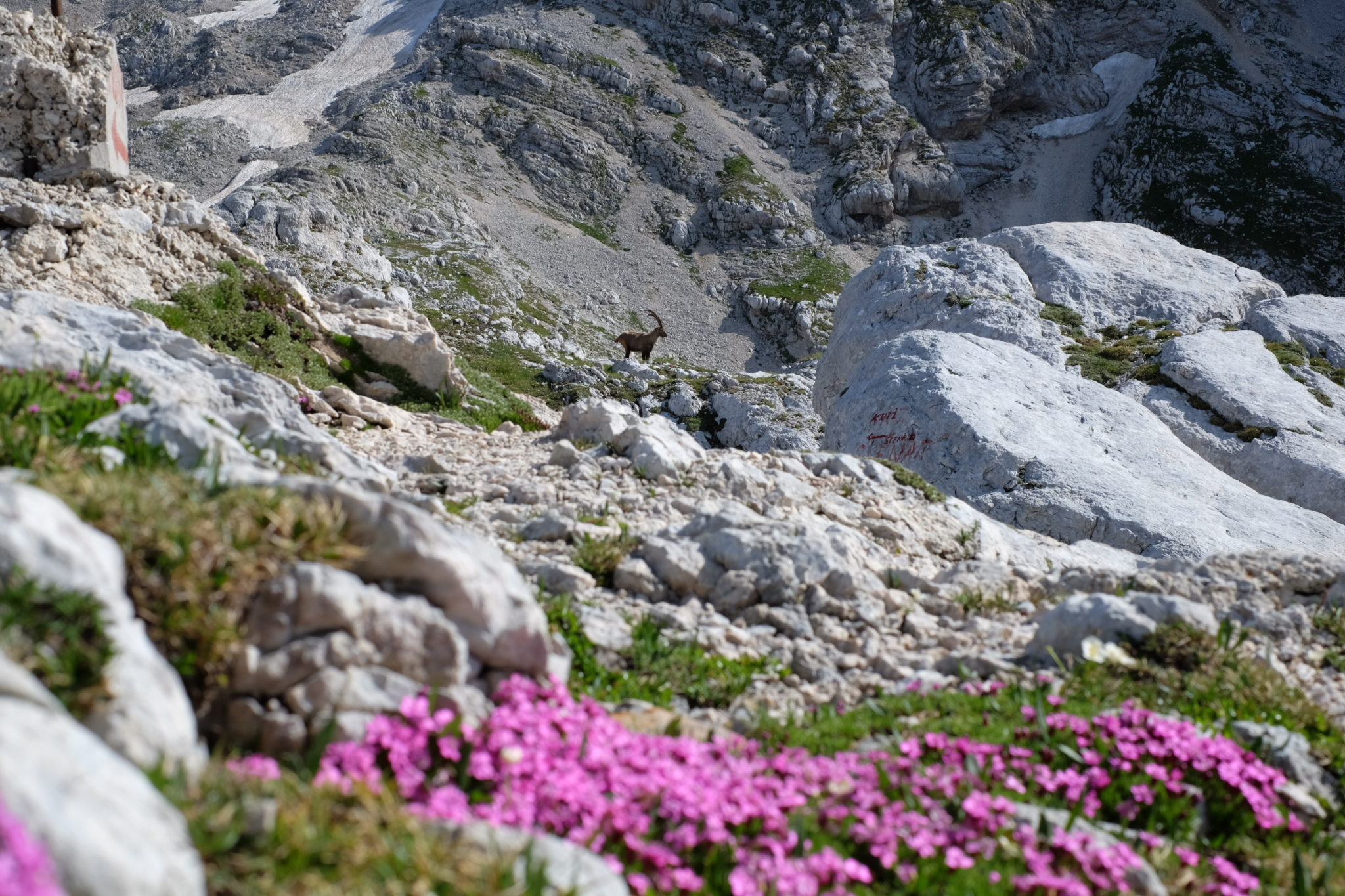 Triglav Rose and an Alpine ibex, Julian Alps, Slovenia