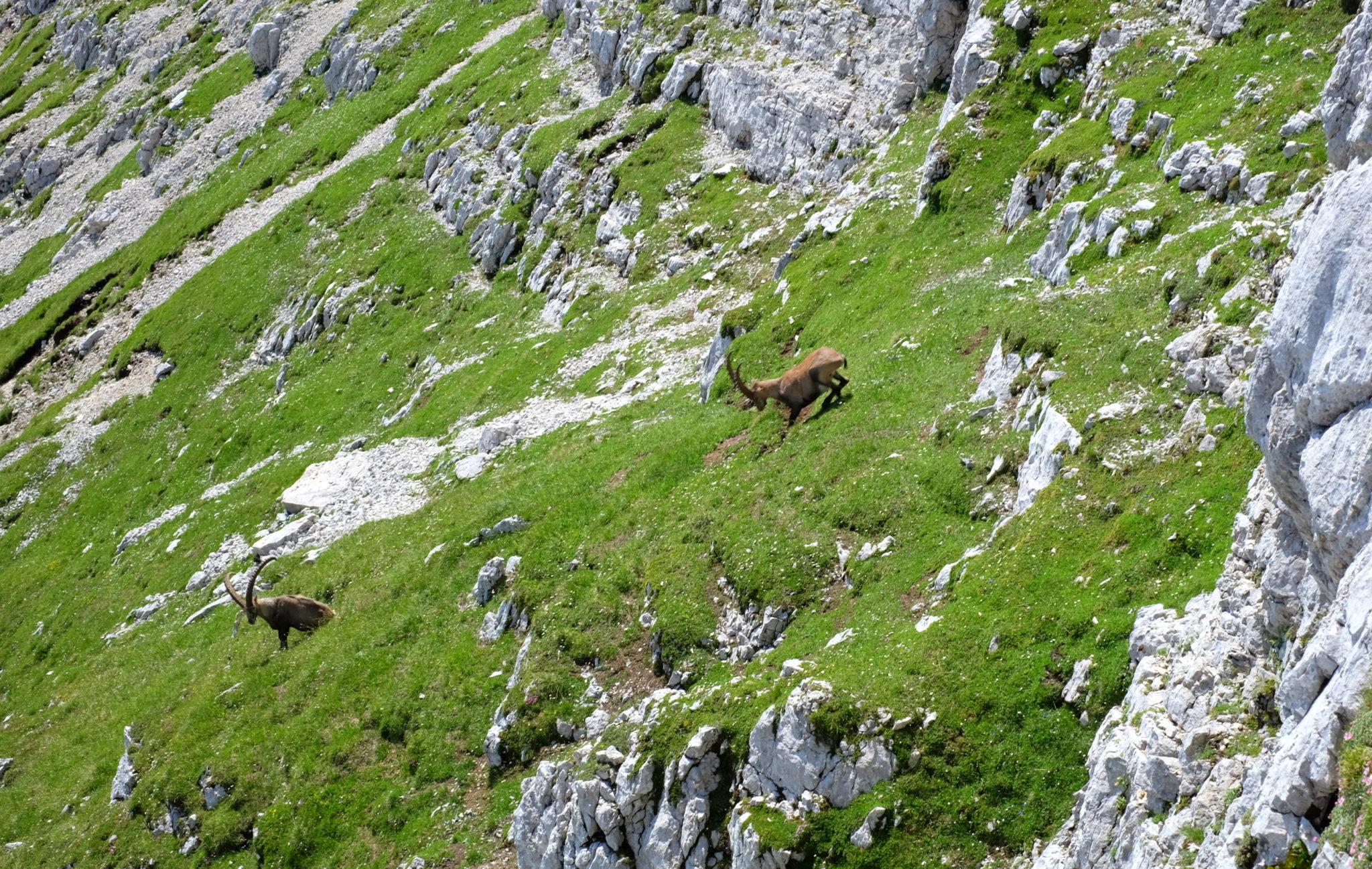 Alpine ibexes in the mountains, Julian Alps, Slovenia
