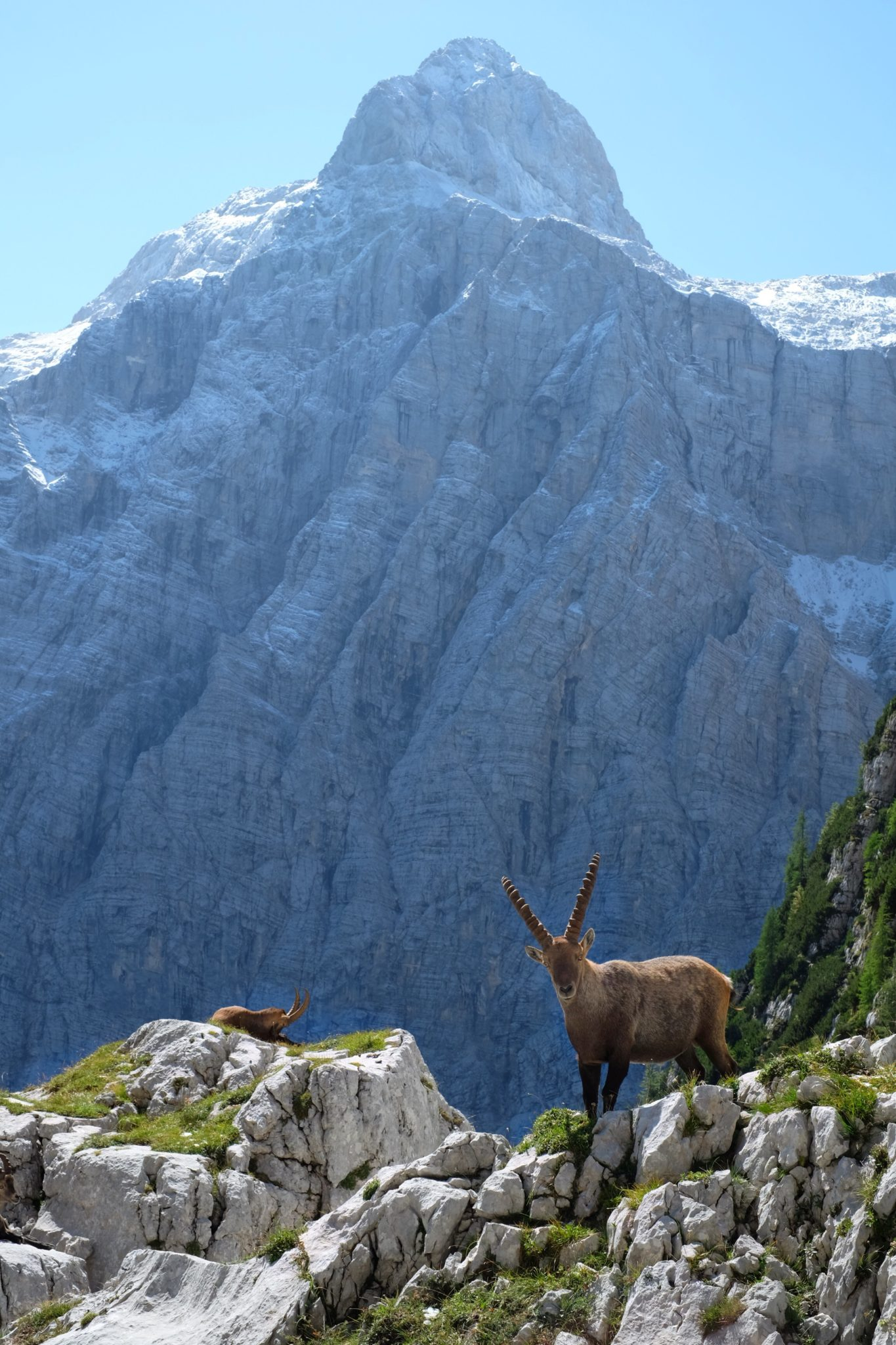 An Alpine ibex in front of the Triglav North Face, Slovenia, Julian Alps