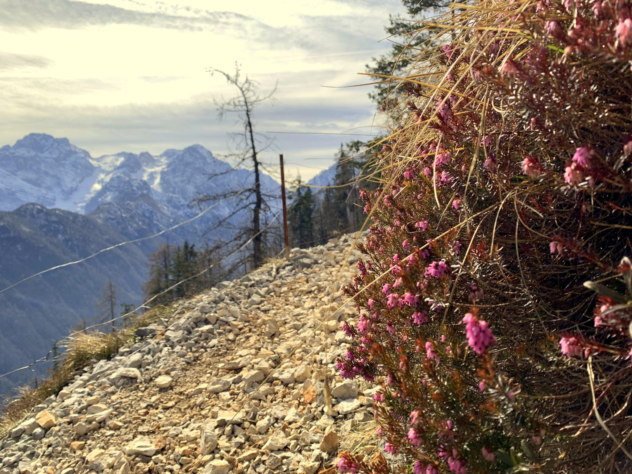 Blooming heath in the Julian Alps, Slovenia